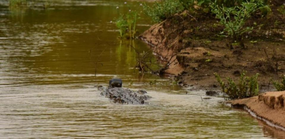 Crocodile is released into a new habitat