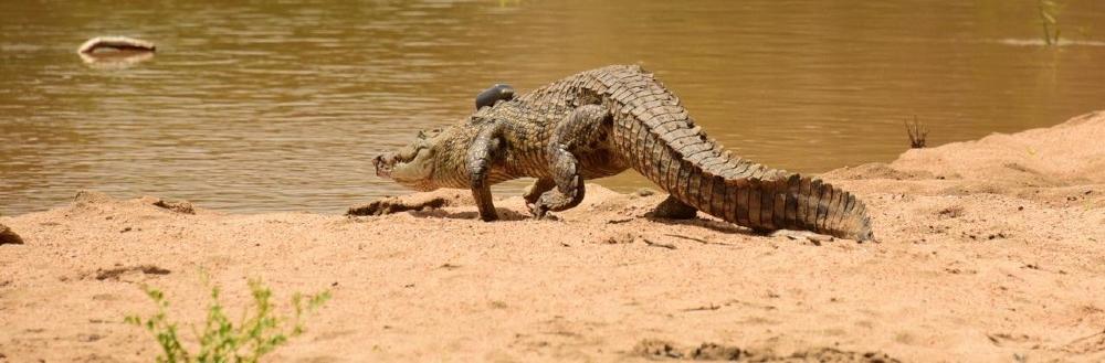 Nile crocodile gets new home
